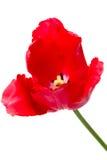 空白查出的红色的郁金香 免版税图库摄影