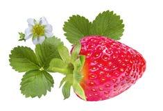 空白查出的草莓 免版税图库摄影