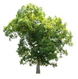 空白查出的结构树 免版税库存照片