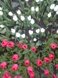空白桃红色的郁金香 免版税库存照片