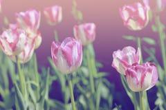 空白桃红色的郁金香 免版税库存图片