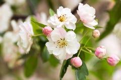 空白樱桃blossom5 库存图片