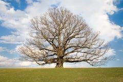 空白橡木最旧的第二个的结构树美国 库存图片