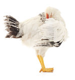 空白母鸡 图库摄影