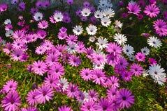 空白淡紫色的延命菊 库存照片