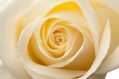 空白焕发里面宏观的玫瑰 免版税库存图片
