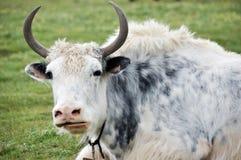 空白牦牛 免版税库存图片