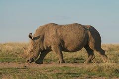 空白犀牛 库存照片