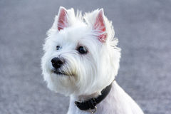 空白狗 免版税库存图片