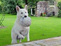 空白狗 免版税图库摄影
