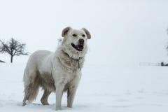 空白狗 图库摄影