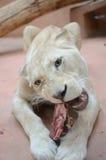 空白狮子吃 免版税库存图片
