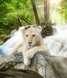 空白狮子 免版税库存照片