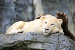空白狮子 免版税库存图片