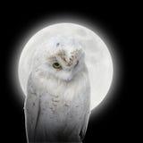 空白猫头鹰在与月亮的晚上 免版税库存图片