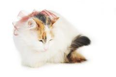 空白猫赤褐色的污点 库存图片