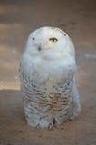空白猫头鹰 库存图片
