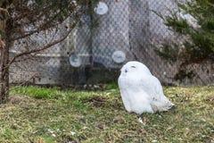 空白猫头鹰 免版税库存图片