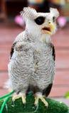 空白猫头鹰 免版税库存照片