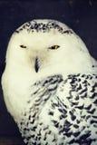 空白猫头鹰 图库摄影