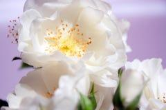 空白玫瑰特写镜头  免版税图库摄影