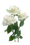 空白玫瑰 免版税库存图片