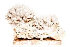 空白珊瑚 库存照片