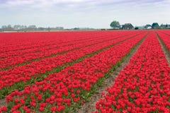 空白电灯泡域红色壮观的郁金香 图库摄影