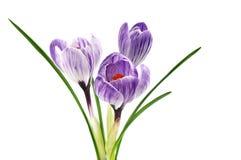 空白番红花紫色的数据条 免版税库存照片