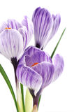 空白番红花紫色的数据条 库存照片