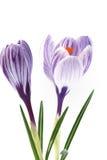 空白番红花紫色的数据条 图库摄影