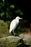 空白白鹭在岩石栖息 免版税库存照片