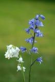 空白的会开蓝色钟形花的草 库存照片