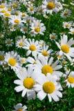 空白的春黄菊 免版税图库摄影