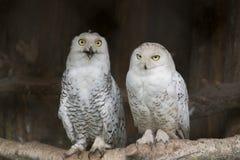 空白的猫头鹰 免版税库存图片