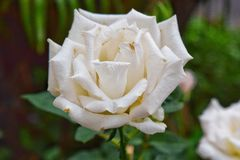 空白的玫瑰 库存照片