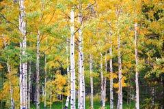空白的白杨木 在科罗拉多山的秋天 库存照片