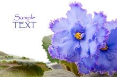 空白的紫罗兰 免版税库存照片