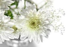 空白的翠菊 免版税库存图片