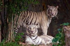 空白的老虎 免版税库存照片