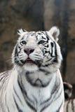 空白的老虎 免版税库存图片