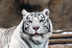 空白的老虎 免版税图库摄影