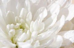 空白的菊花 小深度 免版税图库摄影