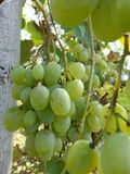 空白的葡萄 库存图片