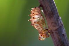 空白的蝶蛹阶段 库存图片