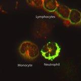 空白的血细胞 免版税库存图片