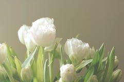 空白的郁金香 免版税图库摄影