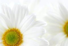 空白的雏菊 免版税库存图片