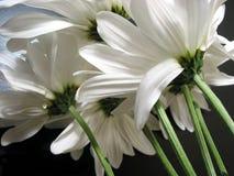 空白的雏菊 免版税图库摄影