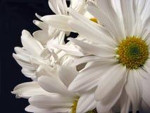 空白的雏菊 免版税库存照片